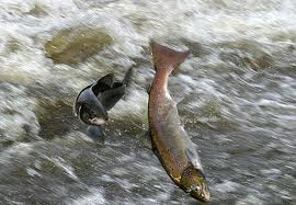 Severn salmon aleaping - this must not become a picture only found in history books
