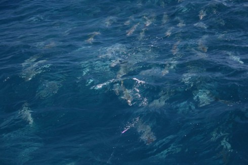 A pack of angry New Zealand kingfish homing in on the lure