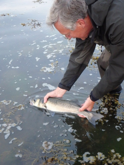 Richard returns a gorgeous shore caught Dingle bass