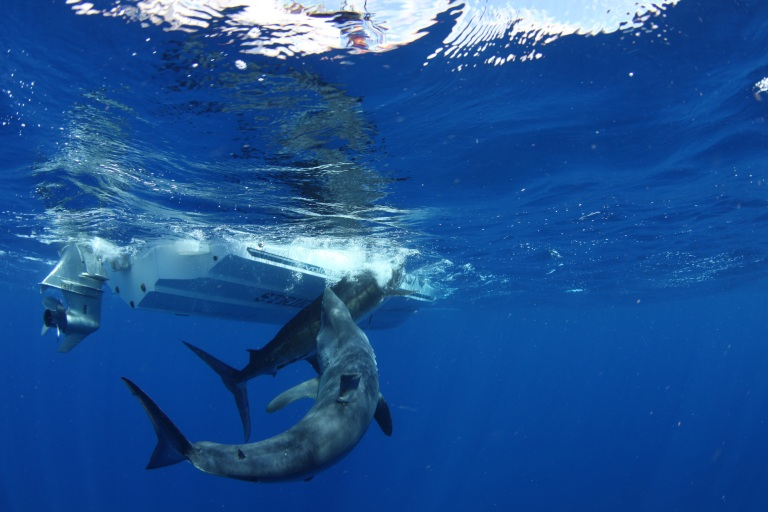 A massive mako shark attacks a marlin as its being unhooked. Not a common sight in UK waters!