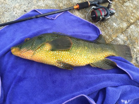 Great colours and powerful shoulders - the Ballan Wrasse is the nearest thing we have to a tropical sports fish in the UK